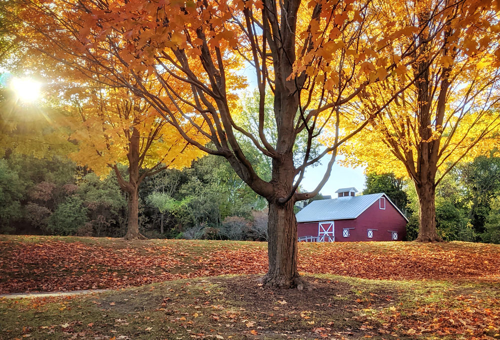 Red barn with white trim nestled among blazing orange trees in the fall